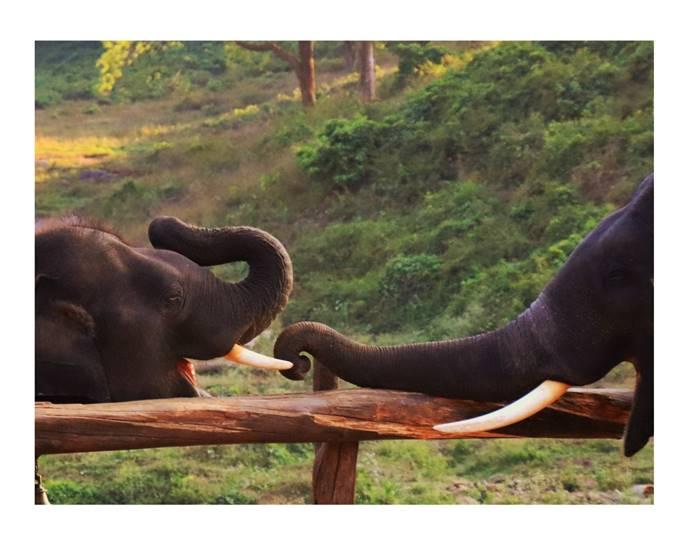 Anamalai tiger reserve Kumki Elephants diet chart